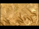 Video Clip - Creation of wheat from grain